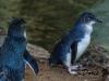 Fairy Penguins