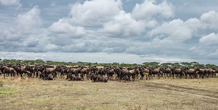 Herd of Wildebeests