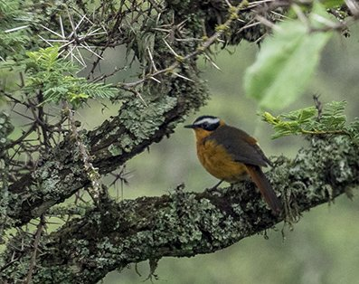 Heuglin's Robin-Chat