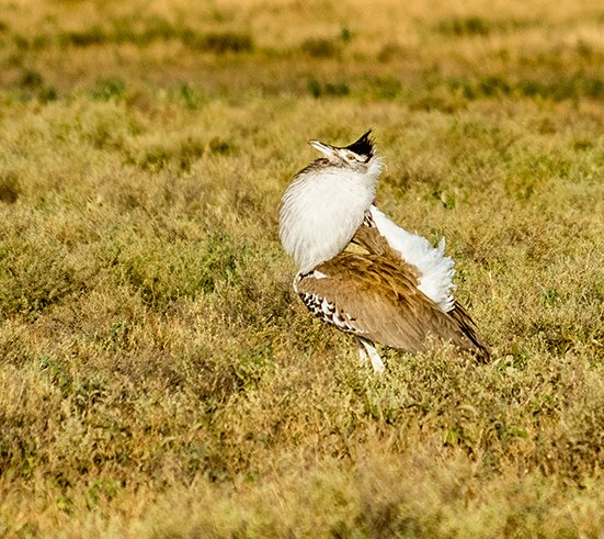 Male Bustard showing off