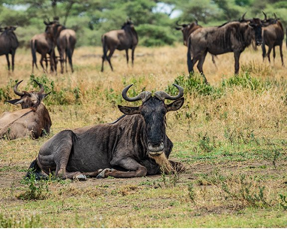 Single Wildebeest