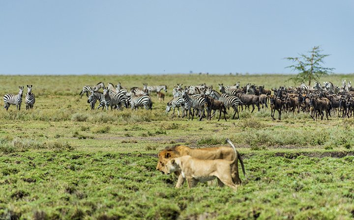 Zebras and Wildebeest want a drink