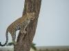 Leopard Climbing up
