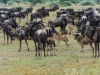Wildebeests and Calves