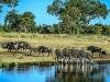 Zebras Wildebeests at Water hole