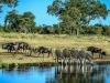 Zebras Wildebeests at Water hole