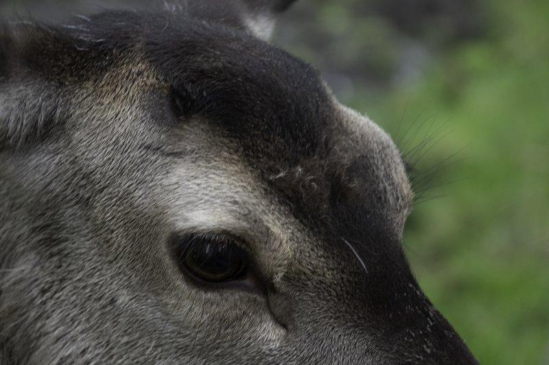 Deer-Eye