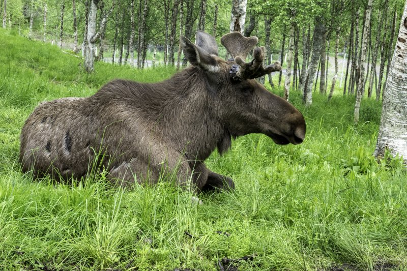 Moose-side