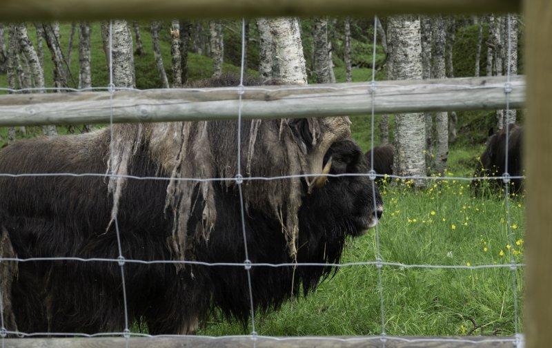 Ox-male