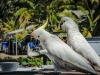 2-cockatoos