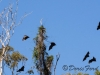 flying-fruit-bats