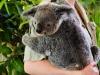 young-koala-2