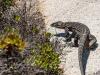 Lizard-Iguana