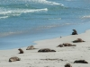 Seals-at-Seal-Beach