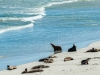 Seals-on-Seal-Beach