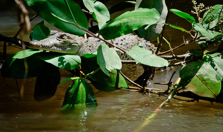 baby-Crocodille
