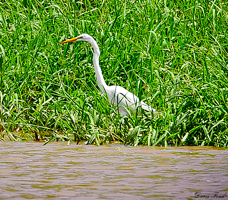 Great-White Crane