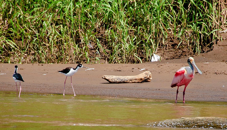 Roseate-spoonbill-(Ajaia-ajaia)-black-necked-stilts-(Himantopus-mexicanus)