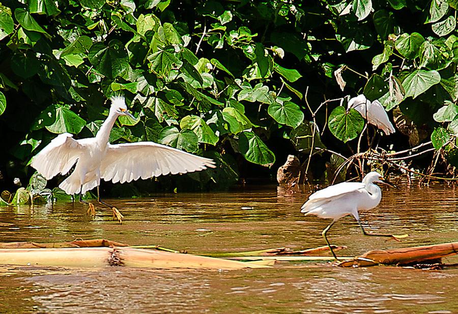 Snowy-Egrets-(Egretta-thula)