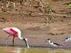 Roseate-spoonbill-(Ajaia-ajaia)-black-necked-stilt-(Himantopus-mexicanus)