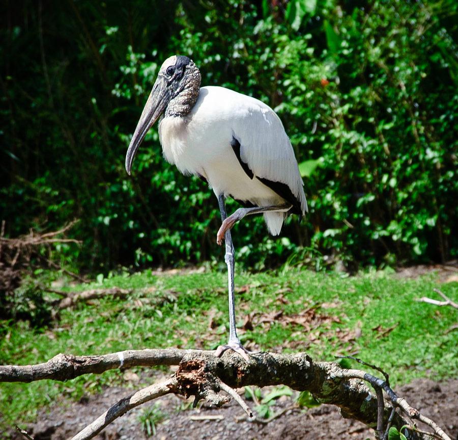 Wood Stork-leg-up-