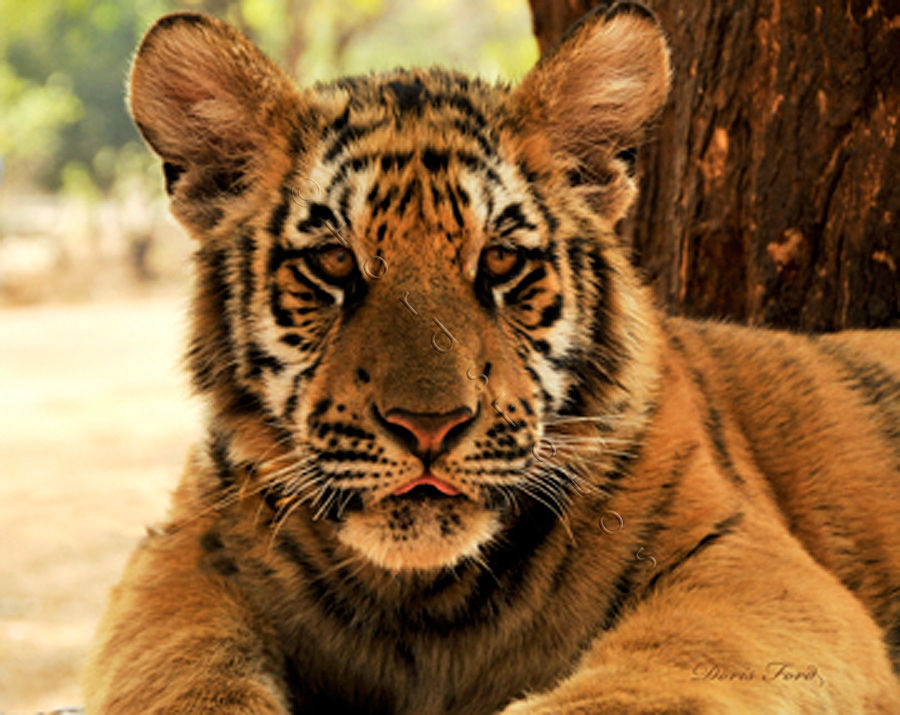 eyes-of-the-tiger-cub