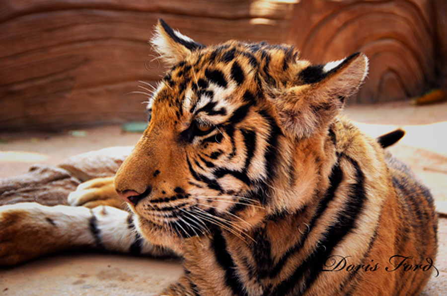 tiger-cub-in-repose