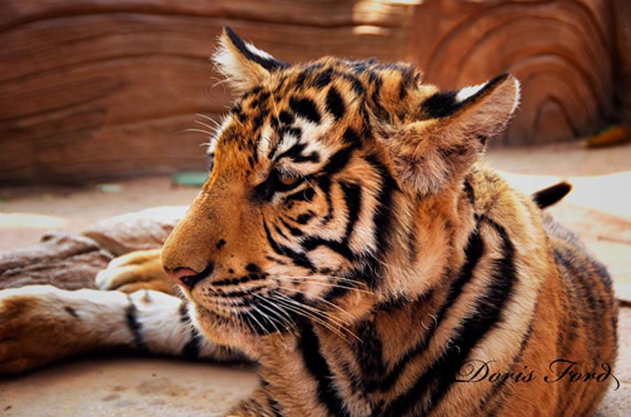 tiger-cub-in-repose