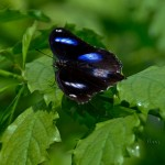 Aruba--- Black & Blue Butterfly