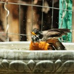 Bath Time for a Robin