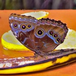 Butterfly on Bananna