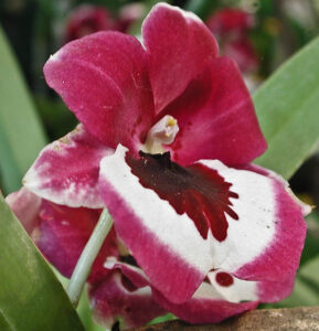 Pansy Orchid Miltonia sp.