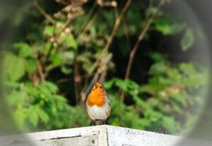 English Robin singing