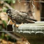Bath Time shake off the water robin