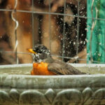 Bath Time American Robin