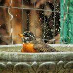 Bath Time American Robin