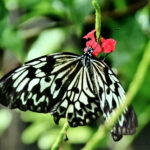 White & Black Butterfly