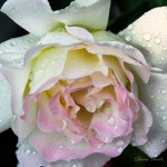 rose with rain drops