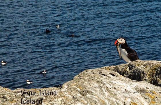 Puffin Vigur Island Iceland