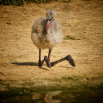Baby-Chilean-Flamingo Phoenicopterus chilensis