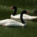 Swans in the Waterfall