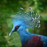 Blue-Crowned Pigeon Goura crista