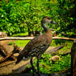 Rare-Cuban-(West-Indian-Whistling tree duck
