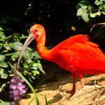 Scarlet Ibis Eudocinus ruber