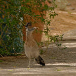 roadrunner State bird of NM
