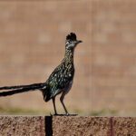 Roadrunner on fence