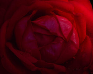 Rain drops on my Rose