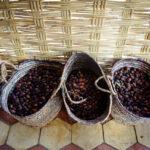 Argan nut, Morocco
