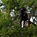 Black & White Goat in Tree
