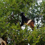 Black and White Goat in the Argan tree